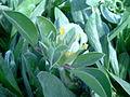 Anthyllis tetraphylla b.jpg