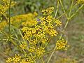 Apiaceae - Ferulago campestris-001.JPG