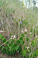 Apocynum androsaemifolium var. androsaemifolium 4.jpg