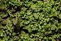 Apopellia endiviifolia 101177622.jpg