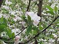 Apple flower.JPG