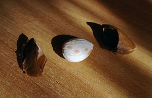 Apricot - Image: Apricot kernel (endocarp + seed)