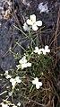 Arabidopsis petraea sl4.jpg