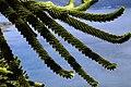 Araucaria 06.jpg