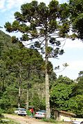 120px Araucaria angustifolia