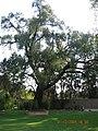 "Arbol en ""Rancho San Juan"" San Juan Totoltepec, Naucalpan, Mexico - panoramio.jpg"