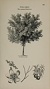Arboretum et fruticetum britannicum, or - The trees and shrubs of Britain, native and foreign, hardy and half-hardy, pictorially and botanically delineated, and scientifically and popularly described (14597255668).jpg