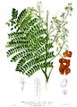 Archidendron scutiferum Blanco2.447.png