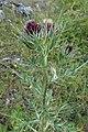 Arctium lappa, Asteraceae 01.jpg