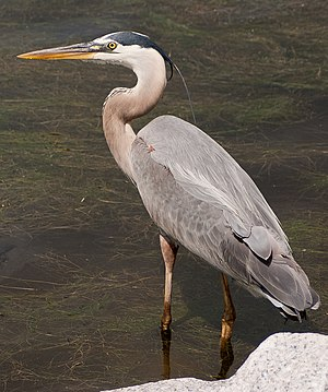 Huntington Beach State Park - Image: Ardea herodias Huntington Beach State Park, South Carolina, USA 8