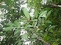 Ardisia cornudentata 玉山紫金牛 3 (天問).jpg