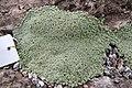Arenaria alfacarensis JB.jpg