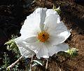 Argemone pleiacantha – Southwestern Pricklypoppy Flower - Flickr - gailhampshire (1).jpg