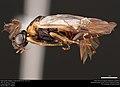 Argid sawfly (Argidae, Schizocerella lineata (Rohwer)) (37517128951).jpg