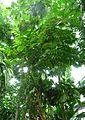 Aristolochia arboreaH.jpg