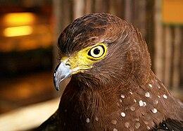 Ark Avilon Phil Serpent Eagle