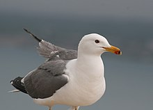 Armenian Gull standing, closeup at Sevan Lake.jpg