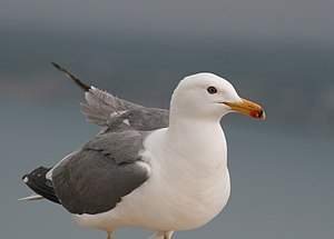 Armenian gull - Image: Armenian Gull standing, closeup at Sevan Lake