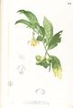 Artabotrys hexapetalus Blanco1.194-original.png