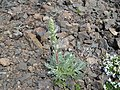 Artemisia campestris (Northern wormwood) - Flickr - brewbooks.jpg