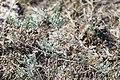 Artemisia santonicum.jpg