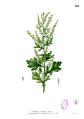 Artemisia vulgaris Blanco2.329.png