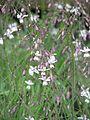 Arthropodium milleflorum - Flickr - peganum (3).jpg