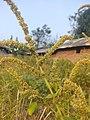 Arya - amaranthus spinosus - bayam duri Kramat 2019 0.jpg