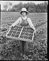 Asian American strawberry picker, ca 1919 (MOHAI 5345).jpg