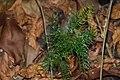 Asparagus racemosus- ശതാവരി.jpg