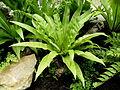 Asplenium nidus (4).JPG