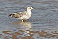 Atlantic Yellow-legged Gull (4989418635).jpg