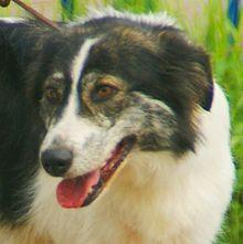 Plemena psů – Wikipedie 60ae5ebe52