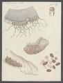 Aurelia aurita - - Print - Iconographia Zoologica - Special Collections University of Amsterdam - UBAINV0274 110 08 0004.tif