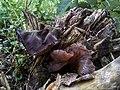 Auricularia auricula judae.jpg