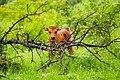 Aurochs calf in the Milovice heavy ungulates wild life refuge.jpg