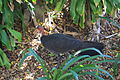 Australian Brush Turkey (14197389779).jpg