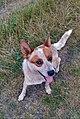 Australian cattle dog Haris.jpg