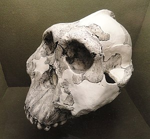 """Charles Watson Boise - The """"Nutcracker Man"""" skull discovered by Mary Leakey and of a species that was named for Boise"""