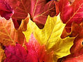 Autumn Maple Leaves.JPG