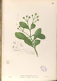 Avicennia officinalis Blanco1.73-original.png