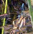 Azure Bluets mating. Coenagrion puella. - Flickr - gailhampshire.jpg