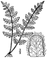 BB-0079 Cheilanthes lanosa.png
