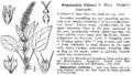 BB Amaranthus palmeri.png