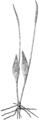 BTBC Plate 318 - Ophioglossum arenarium E.G.Britton.png