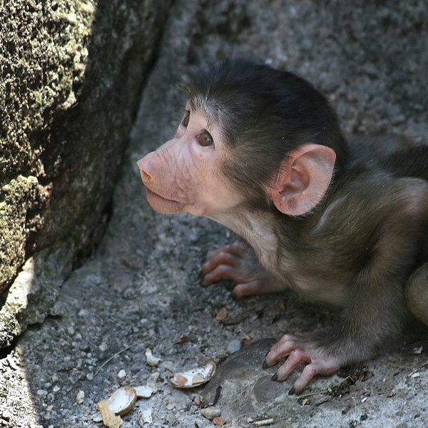 File:Baboon Papio Baby.jpg