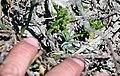 Baby salt marsh bird's beak plant in Orange County (34003988082).jpg