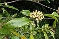 Backhousia citriodora kz01.jpg