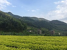 This field of Bai Ji Guan bushes has the light green leaves characteristic of this tea.