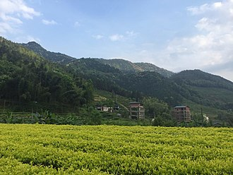 Bai Jiguan tea - Light green leaves of Bai Ji Guan bushes in the field.